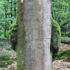 1683 PANDA ROUX OU PANDA VERT ? (rustinejean) Tags: rustine nature panda vert roux animal arbre tree
