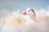 Skomer Puffin - High Key (Old-Man-George) Tags: 2017 animal bird fraterculaarctica georgewheelhouse skomer uk britain british island nature pembrokeshire puffin wales wild wildlife wwwgeorgewheelhousecom a172829