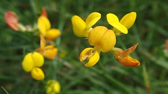 Common Bird's-foot-trefoil (Nick:Wood) Tags: nature wildflower commonbirdsfoottrefoil lotuscorniculatus prioryfields naturereserve warwickshirewildlifetrust flower