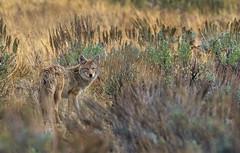 One Last Look (Ania Tuzel Photography) Tags: freewild coyote tundra yellowstone ynp environment nature
