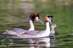 _DSC6846 (Bartek Olszewski) Tags: grebe birds ducks nature nikon nikond4s natureperfectionthernature perkoz wildlifephotography water
