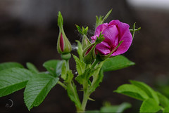 Roses sauvages (bd168) Tags: planrapproché closeup wildrose rosesauvage été summer colour couleurs xt10 xf50mmf2rwr bokeh flower garden plant