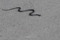 Black whipsnake (Dolichophis jugularis) (BJSmit) Tags: policrysochous paphos cyprus blackwhipsnake black whipsnake dolichophisjugularis coluber dolichophis jugularis pijlslang snake slang