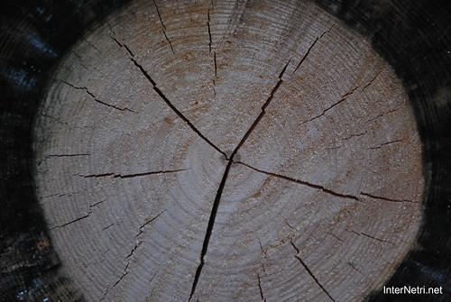 Спил дерева. Лосячий острів.