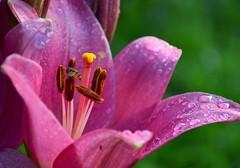 Lys après la pluie (Lezard'or) Tags: lys gouttes