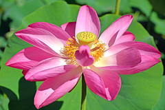 Lotus Flower (misi212) Tags: lotus flower