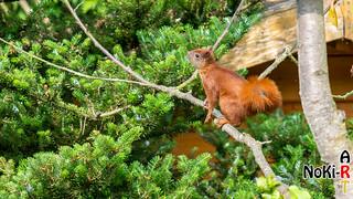 Eichhörnchen im Kirschbaum