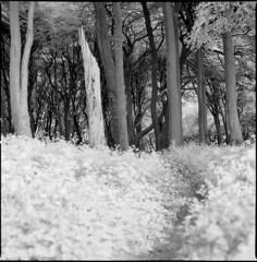 copse (steve-jack) Tags: hasselblad 501cm 80mm cb ilford sfx 200 720nm filter film 120 6x6 trees perceptol epson v500