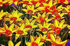 Blossom -40- (Jan 1147) Tags: blossom bloei bloem bloemen flower flowers bewerking processing topaz outdoor buitenopname knokke belgium