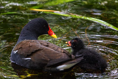 Moorhen (anderswetterstam) Tags: birds nature mother child motherhood parent water red rörhöna