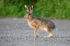 Brown Hare, Golden light at Elmley NNR. What's up doc? (Jim_Higham) Tags: nature natural wild wildlife kent sheppey nationalnaturereserve eu europe britain british england english hare with amber the eyes