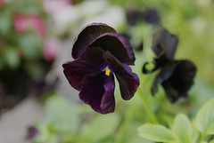 BlackVelvet (obsequies) Tags: pansy pansies black velvet blackvelvet dark goth gothic grunge moody mood aesthetic garden gothgarden gothgardener nature homestead leaves love life whimsy whimsical purple halloween spooky delicate petals bokeh macro flower flowers dream dreamy daydream