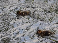 Mallard Chicks, Avon Lwyd, Skate Park, Llanfrechfa Way, Cwmbran 2018 (Cold War Warrior) Tags: anasplatyrhynchos river mallard chick duckling cwmbran llanyravon