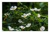 Heckenrose, Rosa corymbifera (günter mengedoth) Tags: tamron sp af 70200 mm f 28 di ld if macro tamronspaf70200mmf28dildifmacro heckenrose rosacorymbifera pentax pentaxk1 k1 pk