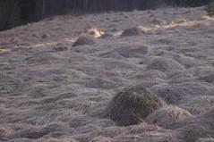 Dry Grass (Felicia Brenning) Tags: sony sonyslta57 sonyalpha sonya57 sweden scandinavia stockholm dry grass