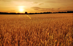 Field of wheat at sunset (medogonka) Tags: wheatfield wheat grain graine farm sunset golden harvest reap sow cereal opportunity potential field health healthy food foods farming autumn fiber landscape sun wide fields waves gold amber nature natural unitedstatesofamerica