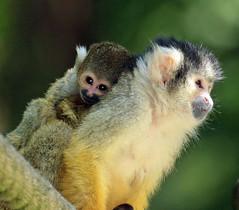 squirrelmonkey apenheul BB2A9863 (j.a.kok) Tags: doodshoofdaapje squirrelmonkey mammal monkey animal aap southamerica zuidamerika primate primaat zoogdier dier apenheul moederenkind motherandchild