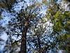 seignosse foret landaise  a la cime des pins forest (dudulandes) Tags: artistique aquitaine amateur ambiance arbre bois canon calme digital esthetique exposition france flou foret forest hossegor insolite landes landaise lumineux matin nature natural naturelle seignosse wood