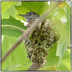 blue-gray gnatcatcher on her nest (RKop) Tags: grandvalleypreserve nikkor600f4evr 14xtciii raphaelkopanphotography ohio nikon d500 tripod warblers warbler wildlife