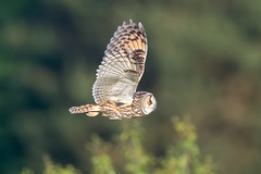 Long Eared Owl (Simon Stobart - Back But Way Behind) Tags: long eared owl asio otus flying north east england uk ngc coth5 npc