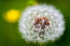 Dandelion (Francisco (PortoPortugal)) Tags: 1192018 20180511foli0312 natureza nature flora dandelion dentedeleão portugal portografiaassociaçãofotográficadoporto franciscooliveira