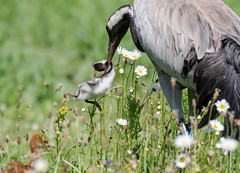 Crane with Shelduck chick June 2018 (jgsnow) Tags: purple bird crane prey shelduckchick