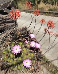 flores Senderismo Ruta desde Pico de las Nieves a Cueva Grande Gran Canaria  19 (Rafael Gomez - http://micamara.es) Tags: flores senderismo ruta desde pico de las nieves cueva grande gran canaria