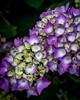 hortensia (hydrangea) (marinachi) Tags: purple white green flowers hortensia closeup