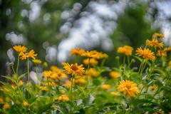 yellow flowers (kderricotte) Tags: yellow flowers sky sony sonya7ii ilce7m2 helios44m458mmf2 helios vintagelens bokeh depthoffield