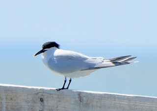 Sandwich Tern 4-9-18