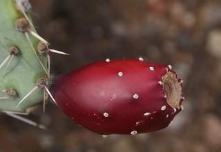 Engelmann Prickly Pear Cactus (Opuntia engelmannii) with fruit; San Pedro River Valley, Arizona