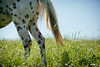 spotty legs (Jen MacNeill) Tags: appy appaloosa horse horses spring summer equine meadow pasture grass green lush