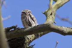 IMG_0339 (Sula Riedlinger) Tags: littleowlathenenoctua littleowl athenenoctua owl owls bird birdwatching birds birdphotography greaterlondonwildlife greaterlondon greaterlondonparkswildlife londonwildlife londonroyalparks londonparkswildlife londonparks nature nationalnaturereserve richmondpark royalparks royalpark surrey surreywildlife surreybirds ukwildlife uknature ukbirding ukbirds urbanwildlife urbannature urbanbirding wildlife wildlifephotography