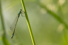 Damselfly in the Warm Evening Light (Stefan Zwi.) Tags: damselfly libelle insect insekt light licht warm green grün blue gras bokeh ngc npc