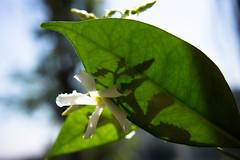 Shadows and Veins (LadyStorta) Tags: leaf flowers white green nature motherearth light veins fiori foglie littleflowers natura madreterra onmybalcony