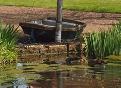 2018_05_0496 (petermit2) Tags: canadagoose goose geese gosling goslings hodsockpriory hodsock priory blyth nottinghamshire garden gardens