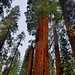 More Sighting of Tall Sequoias (Kings Canyon National Park)