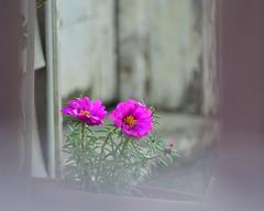 "My Kind of ""Filter"" (bettyinparis) Tags: flowers garden portulaca filter experiments nikon d3200 sigma 70300 pink pretty justforfun"