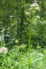 Valériane officinale (Valeriana officinalis subsp. officinalis) (photopoésie) Tags: caprifoliacées valerianaofficinalissubspofficinalis aulnoy essômessurmarne
