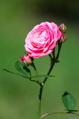 Pink rose - Rome Rose Garden (Giuseppe Cammino) Tags: beautiful beauty bloom blossom bright bud colourful colours floral flower fragility fragrance green leaf light love nature nectar pistil pollen romantic rose spring stem vibrant weathered roma lazio italy it ngc
