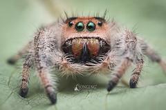 3rd Gen captive-bred Phidippus regius young female (Yongi Ng) Tags: macro closeup salticidae jumpingspider phidippusregius regaljumpingspider spider jumping regius phidippus macrophotography