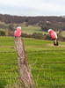 Two Galahs - Eolophus roseicapilla (Trace Connolly Photography) Tags: bird australia natur natura natural nature naturaleza naturephotography colour color colourful outdoor outdoors outside eos canon fauna sunlight exposure animal flickr environment environmental environmentalphotography contrast red green yellow blue black white orange purple pink galah fence wire f28 rural country ountryside