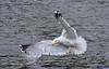 Lesser black back Gull. (spw6156 - Over 6,560,030 Views) Tags: lesser black back gull 600mm 14 converter hand held copyright steve waterhouse