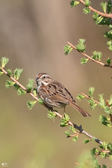 ''Le chanteur!'' Bruant chanteur-Song Sparrow (pascaleforest) Tags: oiseau bird animal nikon nature wild wildlife faune québec canada printemps spring