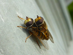 Hoverflies (Eupeodes corollae) (ToxicWeb) Tags: eupeodescorollae hoverfly hoverflies insect fly flowerflies syrphidflies macro mating arbroath angus scotland uk gb panasoniclumix panasonic lumix tz40