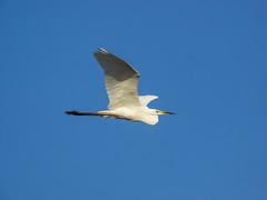 P6020898 (turbok) Tags: silberreiherardeaalbasyncasmerodiusalbus tiere vögel wildtiere c kurt krimberger