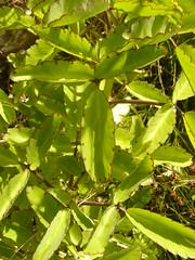 Bryophyllum pinnatum (tammoreichgelt) Tags: crassulaceae bordeaux mountain saint john clapper bush wonderful leaf flower inflorescence green love life plant