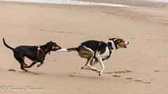 off they go (RCB4J) Tags: ayrshire irvinebeach jakob rcb4j ronniebarron scotland sonyslta77v sonydt18250mmf3563 art babygrace dobermanterrier dogs dunes fun games photography playing running sand siameselurcher trailhound