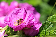 ROZE ROOS (Anne-Miek Bibbe) Tags: rozen roses roze pink mengelmoestuin rosa rose annemiekbibbe bibbe nederland 2018 canonpowershotsx280hs tuin garden jardin giardino jardim natuur nature bloei bloemen flowers flor flores bloom blumen fleur fleurs fiori fioritura roos