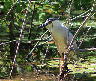 black-crowned night heron (Nycticorax nycticorax), or black-capped night heron (in explore)